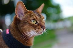 Lizzie (DizzieMizzieLizzie) Tags: abyssinian aby beautiful wonderful lizzie dizziemizzielizzie portrait cat chats feline gato gatto katt katze katzen kot meow mirrorless pisica sony a6500 sigma