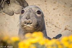 Awwww, that face (Ronda Hamm) Tags: california face sansimeon seal mammal eyes elephantseal canon7dii 100400mkii canon look animal sealife