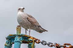 Gull of Oban (Coisroux) Tags: gull seagull oban scotland birdlife seaside harbourbirds metal chains rusted decay perched herringgull d5500 nikond nikkor argyllandbute