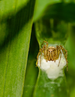 Lynx Spider (Oxyopes aglossus)