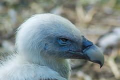 Gänsegeier (grasso.gino) Tags: tiere animals natur nature zoo duisburg nikon d5200 vogel bird geier vulture gänsegeier