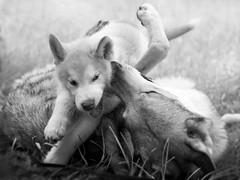 heart- warming friendship (Filidea) Tags: dogs play czechoslovakianwolfdog alaskanmalamut puppy spiel hunde tschechoslowakischerwolfshund nikond7100 35mmnikkor deutschland