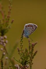 Silver-studded Blue (Plebejus argus) (DavLovett17) Tags: preesheath plebejusargus butterfly butterflyconservationtrust insect nature wildlife silverstuddedblue