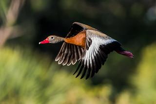 Whistler in Flight