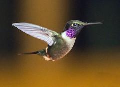 IMG_0348 White-bellied Woodstar (suebmtl) Tags: bird birding mindo pichinchaprovince hummingbird satchatamia