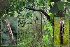Bees predators - 26 VI 2017 (el.gritche) Tags: parusmajor aves paridae france 40 garden nest foeniculumvulgare predation behavior