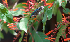 Bee Hummingbird _ Mellisuga helenae (Kremlken) Tags: cuban endemic endemics bird birding vulnerable hummingbirds