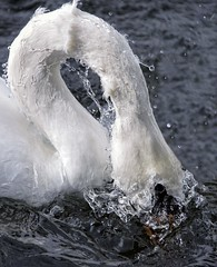 Ducking and Diving (kathharper23) Tags: swan lake water ducking waterdrops action wildlife