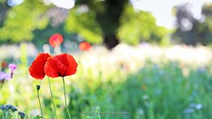 Inspired by Monet (_Nick Photography_) Tags: poppies monet fieldofpoppies reds flowering bokeh greenbokeh plain selectivefocus beauty paint