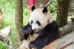 IMG_0463.jpg (wfvanvalkenburg) Tags: ouwehandsdierenpark panda familie