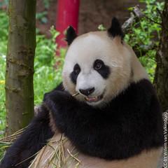 IMG_0473.jpg (wfvanvalkenburg) Tags: ouwehandsdierenpark panda familie