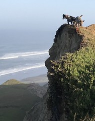 This morning at Fort Funston (serialplantfetishist) Tags: dogs beach sf fort funston fortfunston