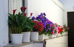 🍃🌺🍃🌺🍃🌺🍃🌺🍃 (✿ Graça Vargas ✿) Tags: flower graçavargas ©2017graçavargasallrightsreserved fátima portugal 13103140717