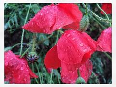 Amapolas (efe Marimon) Tags: appleiphone6s felixmarimon montsec amapolas lluvia