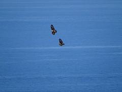 Into the blue (RoBeRtO!!!) Tags: rdpic bird hawk flying blue sea uccello falco volo mare azzurro sonyhx400v
