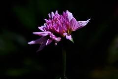 Dahlia (ameliapardo) Tags: dahlia rosa macro naturaleza flores plantas fujixt1 sevilla andalucia españa