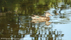 149971191285149 151 5 juillet (lalondepelletier) Tags: canard sarcelle dhiver green wingef teal duck nikon coolpix p900 bird oiseau