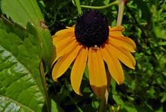 Black-Eyed Susan (& friend) (mudder_bbc) Tags: spiders arachnids crabspider flowerspider parks sharonauduboncenter sharon connecticut blackeyedsusan thomisidae