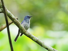 Pale Blue Flycatcher (ChongBT) Tags: naturewildlife animal birds feathers trees olympus omd em1 mk2 zuiko microfourthird m43 300mm f4 pale blue flycatcher adult tamantar