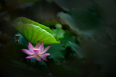 Lotus 荷花 (MelindaChan ^..^) Tags: macau 澳門 龍環葡韻 lotus 荷花 flower green leaf plant bokeh minolta 250mmf56 reflexlense summer