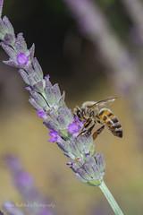 Lavender and hony bee (Nikos Roditakis) Tags: flowers lavandula vera lamiaceae honey beenikon d5200 nikos roditakis tamron af sp 90mm f28 di vc usd lavender
