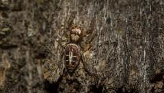 Opisthoncus sexmaculatus (dustaway) Tags: arthropoda arachnida araneae araneomorphae salticidae hyllinae opisthoncus opisthoncussexmaculatus sixspottedopisthoncus australianspiders jumpingspider nature naughtonsgap richmondvalley northernrivers nsw australia natur spinne araignee