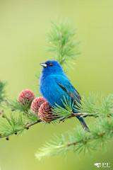 ''Blue dream!'' Passerin indigo- Passerina cyanea (pascaleforest) Tags: oiseau bird animal passion nikon nature wild lifer wildlife québec canada summer faune blue bleu moorning matin
