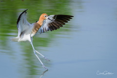 Soft Landing (craig goettsch) Tags: americanavocetrecurvirostraamericana hendersonbirdviewingpreserve2017 bird avian blue green water reflection animal nikon d500 sunrays5 ngc