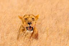 Here's looking at you, Kid! (Poulomee Basu) Tags: wild wildlife wildlifephotography wildlifehaven wildlifephotographer africa africansafari safari savannah safarilovers serengeti tanzania savannahscenes lioness bigcat bigcatdiaries letlionslive beauty tranquil