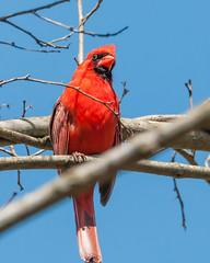04102017-147-3+ (bjf41) Tags: cardinal northern re edit redo red bird tree