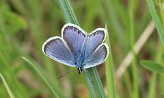 8809 Plebejus argus (jon. moore) Tags: preesheath shropshire silverstuddedblue plebejusargus lepidoptera