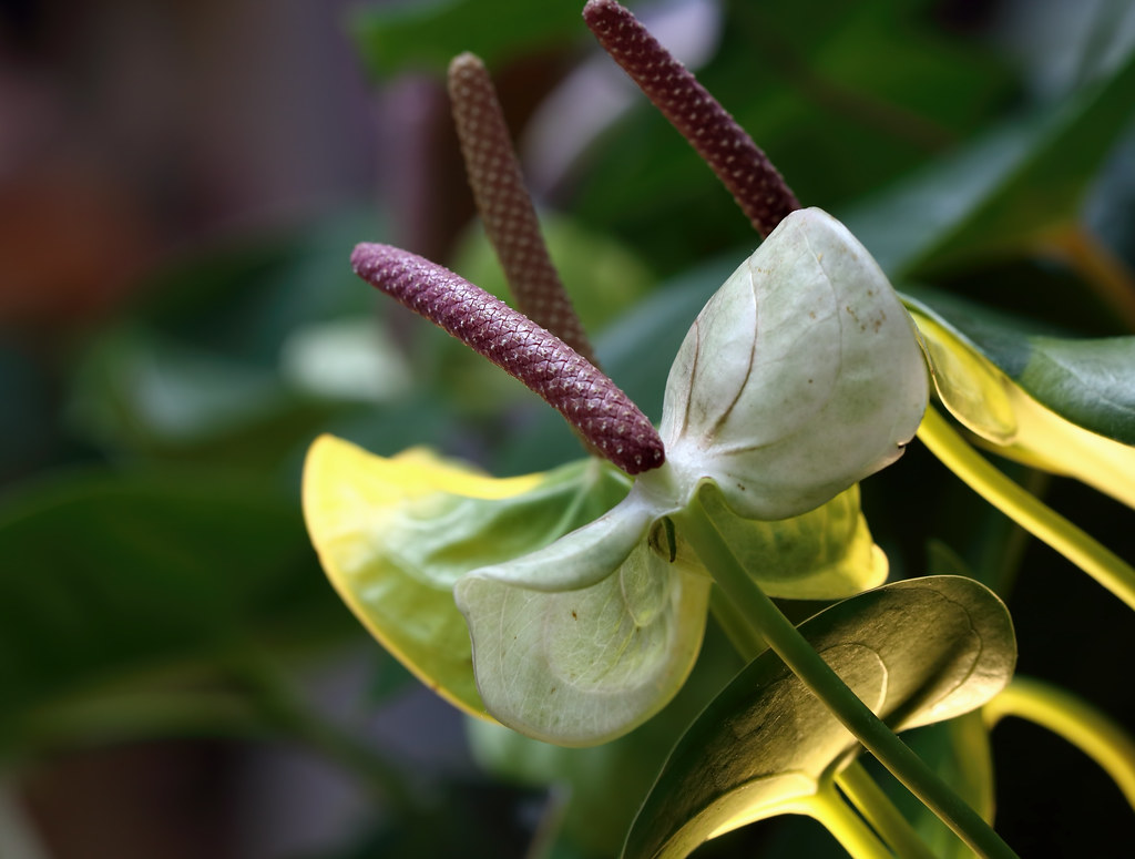 The Worlds Best Photos Of Anthurium And Flower Flickr Hive Mind