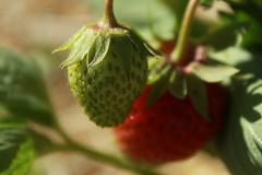 Löning om ett par dagar (Annica Spjuth) Tags: loning fotosondag fs170625 jordgubbar