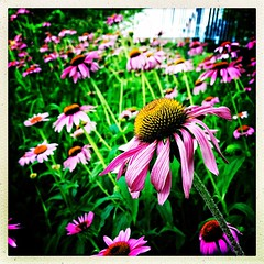Oh yes. Summer. #collegepark #maryland #iPhone365 #commute #sidewalk #roadside #iPhone #iPhonemacro #macro  #flower #flowersofinstagram (Kindle Girl) Tags: iphoneography iphone365 roadside collegepark maryland commute sidewalk iphone iphonemacro macro flower flowersofinstagram