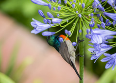 Sunbird (Hans van der Boom) Tags: holiday vacation southafrica zuidafrika sawadee drakensbergen animal bird sunbird small perched kwazulunatal sa