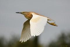 Ros* (Enllasez - Enric LLaó) Tags: aves aus bird ocells pájaros torredendolça martinetros