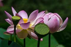 Lotus-7.jpg (BoCat31) Tags: fleur graine lotus rose