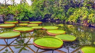 Victoria amazonica, Diergaarde Blijdorp, Rotterdam, Netherlands - 5081