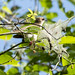 Black-billed Cuckoo in the Mulberry Tree