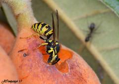 7DSC_0046b (Pep Companyó - Barraló) Tags: avispa común vespula vulgaris vespa insecte animals fauna natura macro josep companyo barralo bergueda