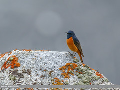 Blue-fronted Redstart (Phoenicurus frontalis) (gilgit2) Tags: avifauna birds bluefrontedredstartphoenicurusfrontalis canon canoneos7dmarkii category fauna feathers geotagged gilgitbaltistan hunza imranshah location pakistan shisparether species tags tamron tamronsp150600mmf563divcusd wildlife wings gilgit2 phoenicurusfrontalis