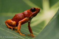 Diablito poison frog (Oophaga sylvatica) (Ville.V.) Tags: diablito poison frog oophaga sylvatica ecuador herping herpetology nature wild wildlife