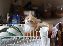 flirtations from the dish drainer (rootcrop54) Tags: jimmy orange ginger longhaired tabby male cat dishdrainer restaurantchina bowls neko macska kedi 猫 kočka kissa γάτα köttur kucing gatto 고양이 kaķis katė katt katzen kot кошка mačka maček kitteh chat ネコ