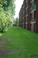 Pigeons behind the flat (13-volt) Tags: pigeons grass flat gerard doustraat almelo