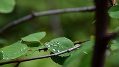 Drops (naromeel) Tags: nature banff canada