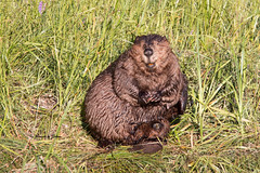 Basking beaver (Explore July 9 2017) (Canon Queen Rocks (1,610,000 + views)) Tags: animals beaver female fur wildlife water wild nature grass basking teeth momentsbyceline