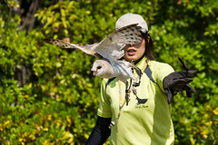 Barn Owl, Daikichi Take-off!!! : テイクオフ!!! (Dakiny) Tags: 2017 summer june japan kanagawa yokohama asahiward park city street outdoor zoo yokohamazoologicalgardens zoorasia show birdshow people portrait woman girl creature animal bird raptor owl barnowl bokeh nikon d750 sigma apo 70200mm f28 ex hsm apo70200mmf28dexhsm sigmaapo70200mmf28dexhsm nikonclubit