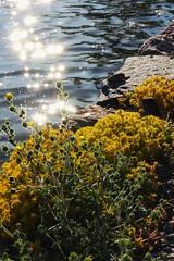 Flowers by the sea (Kimmo Räisänen) Tags: canoneosm efm1855mm flower flowers sea sun summer summertime smallaperture helsinki finland scandinavia nature naturephotography natureza