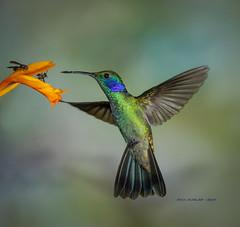 Mexican Violetear Hummingbird (rickdunlap2) Tags: colibrithalassinus mexicanvioletear hummingbird bird animal wildlife travel ecuador