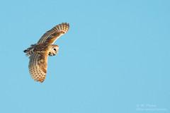 """""I rejoice that there are owls..."" (ac4photos.) Tags: owl barnowl inflight bird nature wildlife animal florida naturephotography birdphotography owlphotography animalphotography wildlifephotography nikon d500 tamron150600mm ac4photos ac"